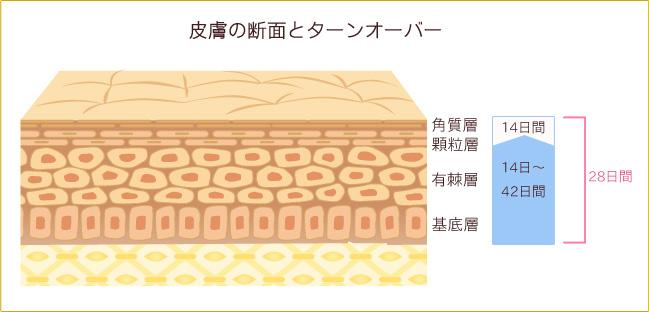 皮膚の断面とターンオーバー